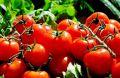 Диета из томатов творит чудеса с легкими курильщиков